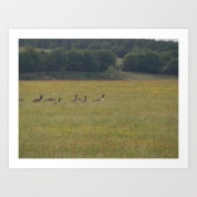 canadian geese, english meadow, spring, birds,