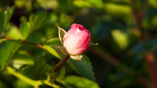Closed Pink Rose http://bit.ly/29LiOk5