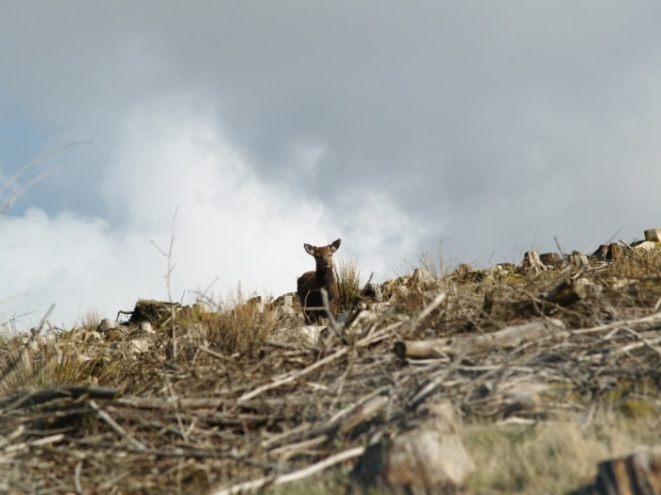 Deer, doe, wildlife, animal, destroyed forest, photo, photography, photograph, cloudy sky