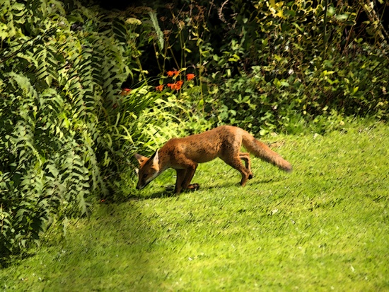 Fox, hunting, photo manipulation, animal, wildlife, animal, photo, photography, photograph,