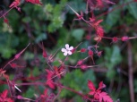 Pink dainty flower, wildlife, photo, photography, pink flower, trailing flower