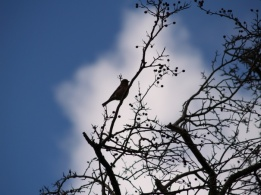 bird, finch, wildlife, animal, photo, photography, photograph, cloudy sky, berries, tree, silhouette, sillhouette