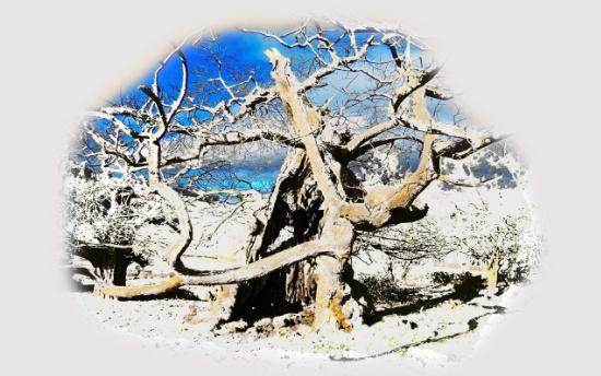 stylised tree, snow, winter, photo manipulation, wild life, wizened, gnarled, gnarly tree,