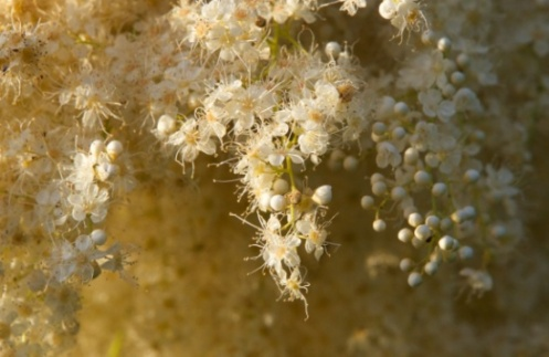 white flowers, white berries, small white flowers, photo, photography, landscape, wildlife,
